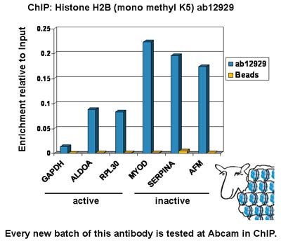 ChIP - Histone H2B (mono methyl K5) antibody - ChIP Grade (ab12929)