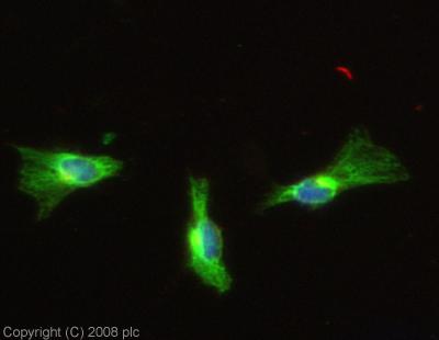 Immunocytochemistry/ Immunofluorescence - PTP lambda antibody (ab13223)
