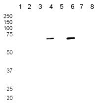 Western blot - PTP kappa antibody (ab13225)