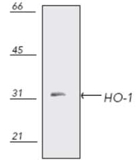 Thin Layer Chromatography - Heme Oxygenase 1 antibody (ab13243)