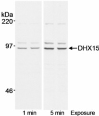 Western blot - Anti-DHX15 antibody (ab13460)