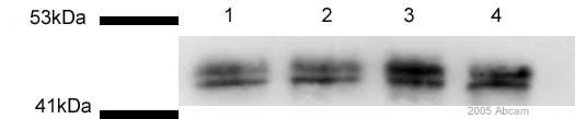 Western blot - CD40 antibody (ab13545)