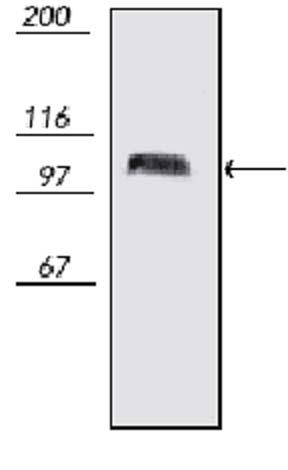 Western blot - PSD95 antibody [7E3-1B8] (ab13552)