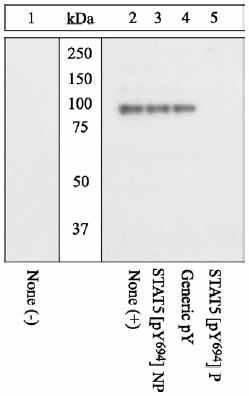 Western blot - Anti-STAT5 (phospho Y694) antibody (ab13593)