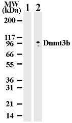 Western blot - Dnmt3b antibody [  52A1018] - ChIP Grade (ab13604)