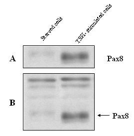 Western blot - PAX8 antibody (ab13611)