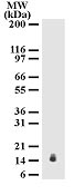 Western blot - Anti-IL17E antibody [68C1039] (ab13651)