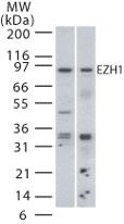 Western blot - EZH1 antibody (ab13665)