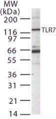 Western blot - TLR7 antibody (ab13730)