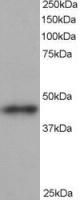 Western blot - ACTR1B antibody (ab13802)