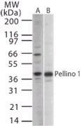 Western blot - Anti-Pellino 1 antibody (ab13812)