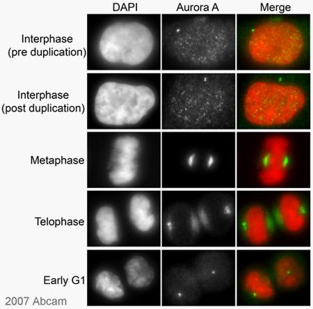 Immunocytochemistry/ Immunofluorescence - Aurora A antibody [35C1] (ab13824)