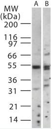 Western blot - TRAF6 antibody (ab13853)