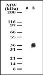 Western blot - cleaved IKB alpha antibody (ab13904)