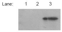 Western blot - SOCS6 antibody (ab13950)
