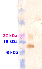 Western blot - EEF1D antibody (ab13962)