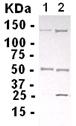 Western blot - Anti-BAF53A antibody (ab13999)