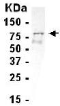 Western blot - Anti-BCAS2 antibody (ab14000)