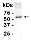 Western blot - BRCA1 antibody (ab14003)