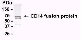 Western blot - CD14 antibody (ab14006)