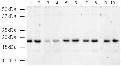 Western blot - Histone H3 (phospho T6) antibody (ab14102)