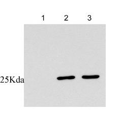 Western blot - 14-3-3 sigma antibody [1.N.6] (ab14123)