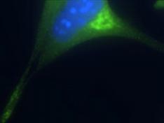 Immunocytochemistry/ Immunofluorescence - AP3B2 antibody (ab14227)