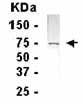 Western blot - C3IP1 antibody (ab14233)