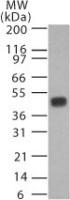 Western blot - Anti-Caspase-1 [14F468] antibody (ab14367)