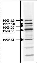 Western blot - PDE4 antibody (ab14628)