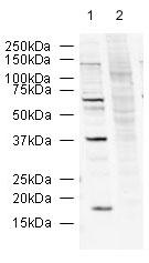 Western blot - R2D2 antibody (ab14750)