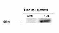 Western blot - E2F1 antibody (ab14768)