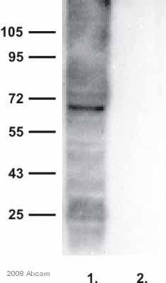 Western blot - Bestrophin antibody (ab14927)