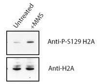 Western blot - Anti-Histone H2A (phospho S129) antibody - ChIP Grade (ab15083)