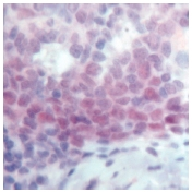 Immunohistochemistry (Formalin/PFA-fixed paraffin-embedded sections) - Anti-Oct-2 antibody (ab15114)
