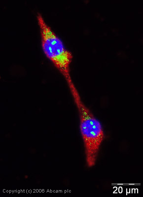 Immunocytochemistry/ Immunofluorescence - Wnt1 antibody (ab15251)