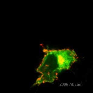 Immunocytochemistry/ Immunofluorescence - Amyloid Precursor Protein antibody, prediluted (ab15273)