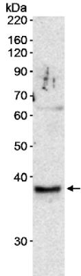 Western blot - Anti-RFC3 antibody (ab15340)