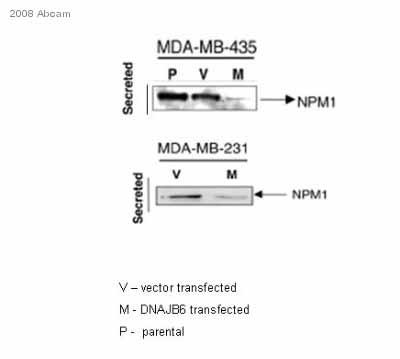 Western blot - Nucleophosmin antibody (ab15440)