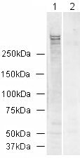 Western blot - Ki67 antibody (ab15580)