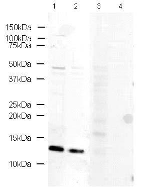 Western blot - Fragilis antibody - Germ Line Marker (ab15592)