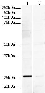 Western blot - V5 tag antibody (ab15828)