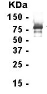 Western blot - TFIIF antibody (ab15862)