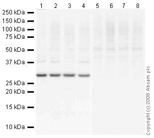 Western blot - SOCS3  antibody (ab16030)