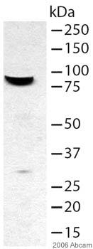 Western blot - FOXP2 antibody (ab16046)