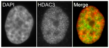Immunocytochemistry - HDAC3 antibody (ab16047)