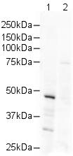 Western blot - HDAC3 antibody (ab16047)