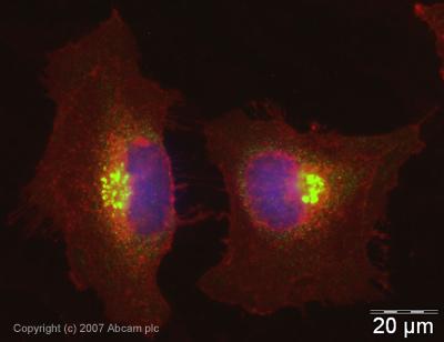 Immunocytochemistry/ Immunofluorescence - TGN46 antibody (ab16052)