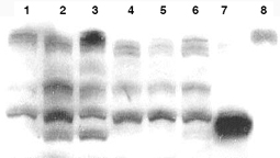 Western blot - PTEN antibody (ab16125)