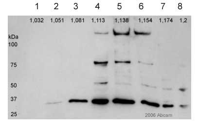 Western blot - alpha SNAP antibody [4E4] (ab16391)